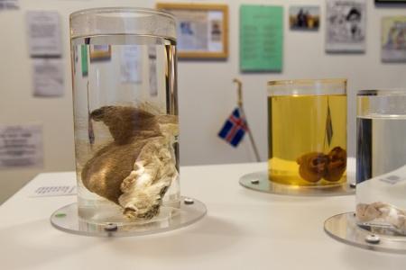 Human Penis Museum Iceland Reykjavik