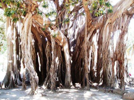 Palermo Sicily Ficus Tree