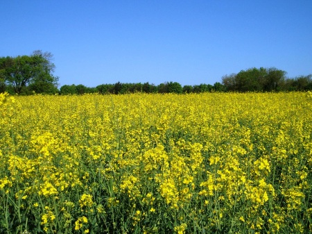 Field of Yellow Rape