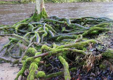 Tangled Tree Roots in Moss
