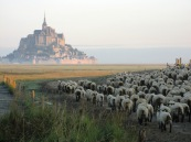 Mont St Michel and Sheep