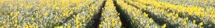 Lincolnshire Daffodils