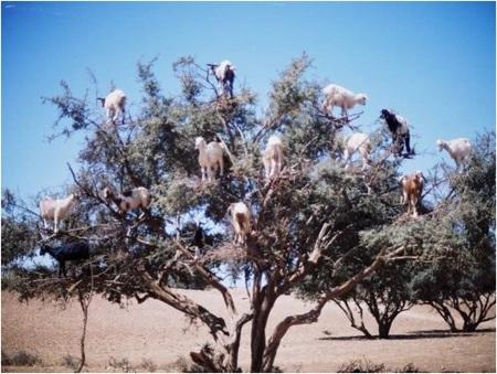 Argan Oil Goats
