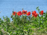 Poppies St Mary's Lighthouse Whitley Bay
