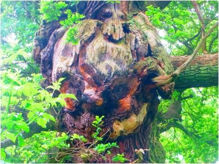 Sherwood Forest Oak