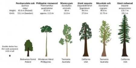 Tallest trees