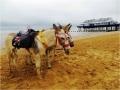 cleethorpes donkeys