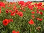 Poppies in Extremadura