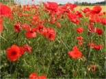 Poppies in Extremadura