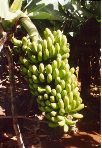 1954 Bananas