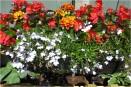 Marigold and Begonia