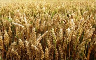 Skipsea Wheat