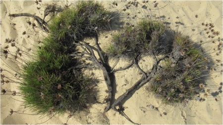 Odeceixa Tree in Sand