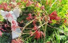 Crimson Acer