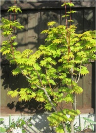 Green Acer