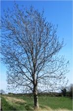 Tree 006