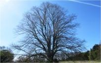 Tree 011