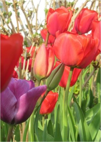Tulip 002