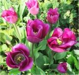 Tulip 003