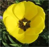 Tulip 005