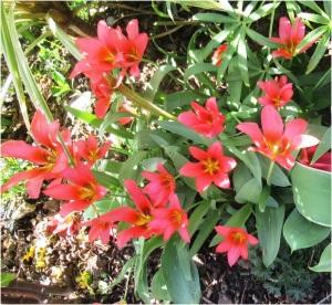 Tulip 009