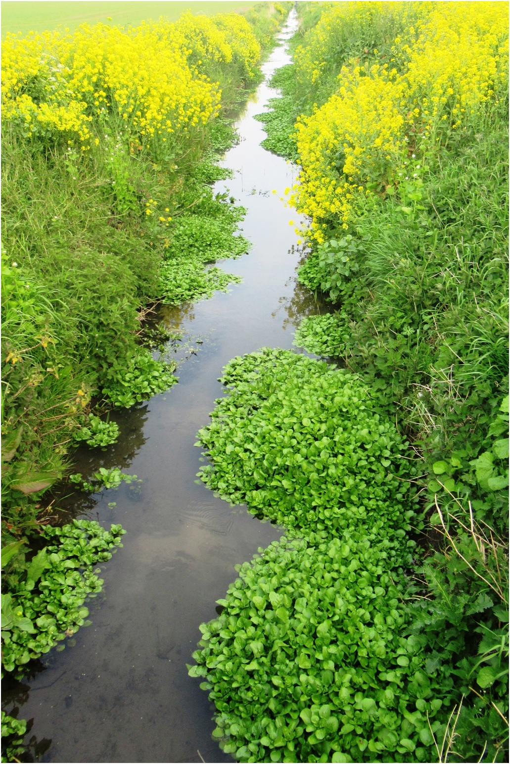 Water Cress in Dyke